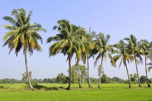 Coconut tree in field