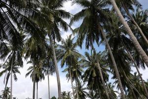 Many tropical coconut trees photo