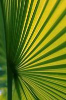 Chinese Fan Palm, Fountain, Livistona chinensis