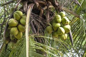 coconut terr photo