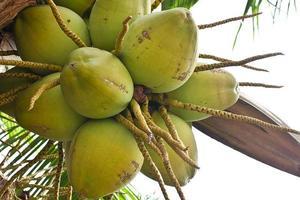 coconuts on tree photo