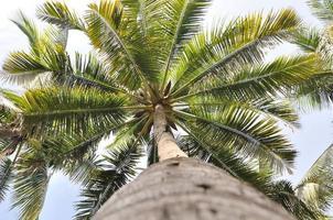 Coconut Tree. photo