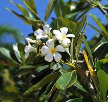 Ficus flowers