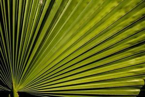 fronda de palma verde