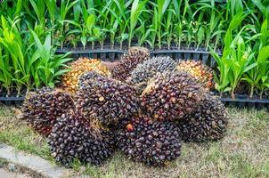 Pile of palm oil photo