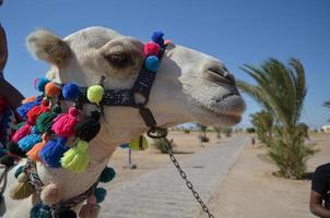 cabeza de camello con adornos brillantes