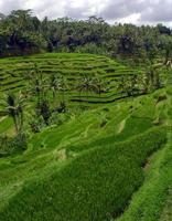 Rice Terraces near Ubud town , Bali, Indonesia photo