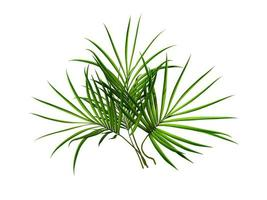 rama de palma foto