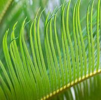 closeup green cycad leaf in spring time