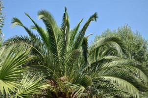 Palm treetop photo