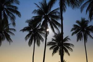 Silhouetted of coconut tree photo