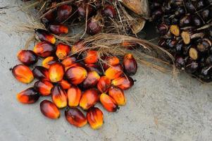 Fresh oil palm fruits photo