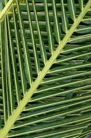 Palm tree leaves background photo