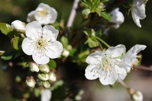 Sour Cherry white flowers, cherry blossoms under blue sky
