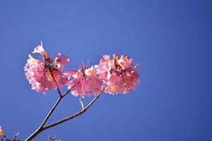 Beautiful Pink Ipe photo