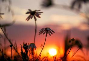 flores silvestres en la puesta de sol