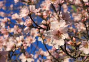 Almond blossom in Springtime, Portugal.