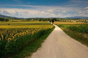 Sunflowers field in the summer season photo