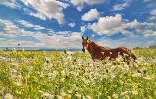 cavalo marrom em flores brancas selvagens