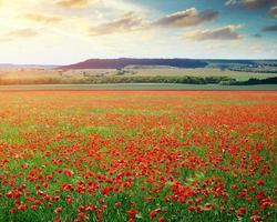 Big poppy meadow