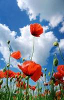 In poppies