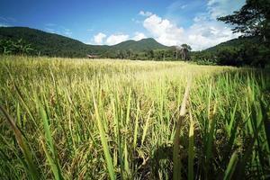 Rice Field Plantation photo