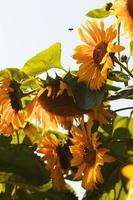 Sunflowers in village