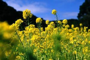 Canola Flower photo
