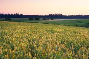 jovem campo de cereais verde ao nascer do sol