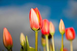 Beautiful field of red yellow tulips with blue cloudy sky.