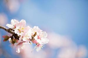 close up of beautiful rose almond blossoms on blue sky photo
