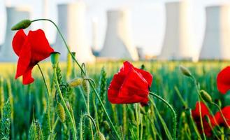 field  poppy with power station