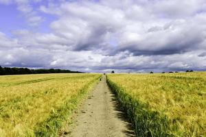 Path through the yellow wheat field photo