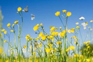 flowers field with cabbage white butterfly in flight
