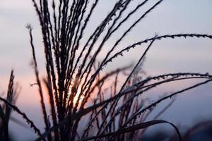 Straw blades at sunset