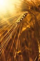 primer plano del campo de trigo en la puesta del sol