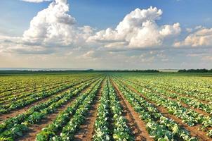 Cabbage field photo