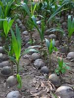 coconut seedling