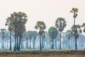 Palm trees on a background of green rice field