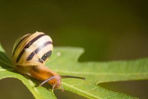 Snail on green fig tree leaf