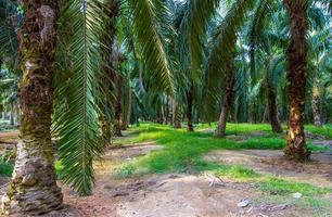 Palm oil Plantation photo