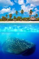 Whale shark below photo