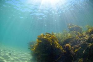 arrecife de algas marinas bajo el agua laguna