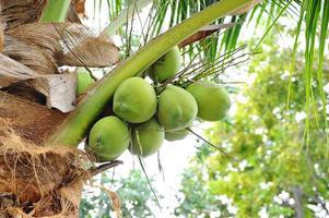 Coconut tree photo