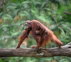 Mother orangutang walking with its baby in rainforest photo