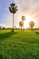 Rice field with palm tree in morning, Phetchaburi Thailand.