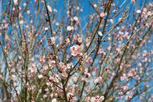 Blossom Sakura