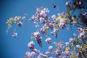flor de glicina lila foto