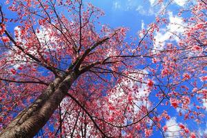 flor de cerejeira rosa