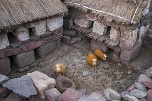 Guinea pigs in Peru waiting for the dinner photo